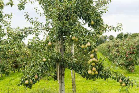 Pears plantation in Hamburg old land