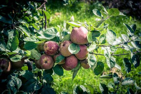 Apple harvest in the old Land of Hamburg
