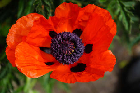 leaves and pollen of the poppy flower