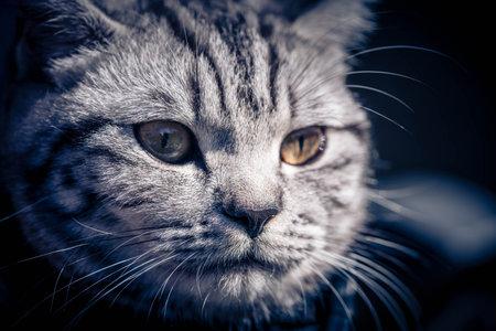 gray british short hair cat