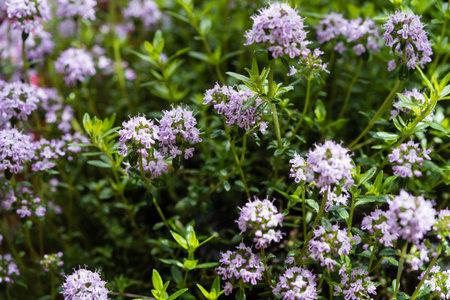 savory satureja hortensis delicious kitchen herbs