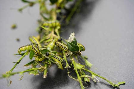 the boxwood moth caterpillar Cydalima perspectalis Stock Photo
