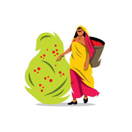 to gather: Woman with a Basket gather Coffee Beans from the bush Isolated on a White Background