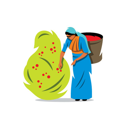 exploitation: Woman with a Basket gather Coffee Beans from the bush Isolated on a White Background