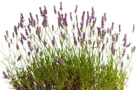 lavanda: Blooming arbusto de lavanda en frente de fondo blanco Foto de archivo