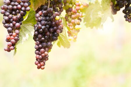 ripening: Grape vines with ripening grapes Stock Photo