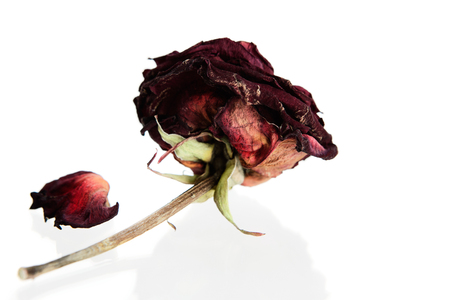 ephemeral: Dried rose against white background