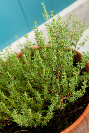 thymus: Fresh thyme in rustic flowerpot, Thymus Vulgaris