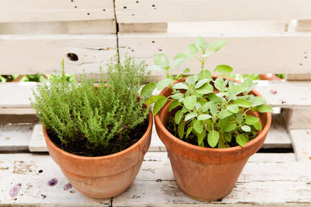 potherbs: Thyme and sage in old clay pots