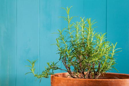 officinalis: Fresh rosemary in rustic flowerpot, Rosmarinus officinalis
