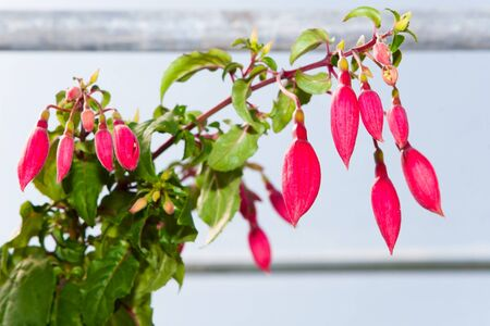 fuchsias: Blooming fuchsias in a greenhouse
