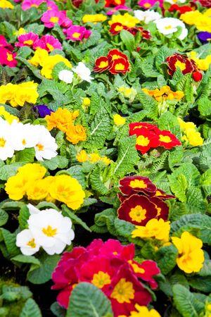 garden center: Many colorful primulas in a garden center Stock Photo