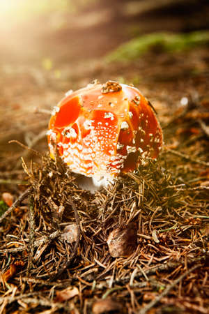'fly agaric': Fly agaric in coniferous forest Stock Photo