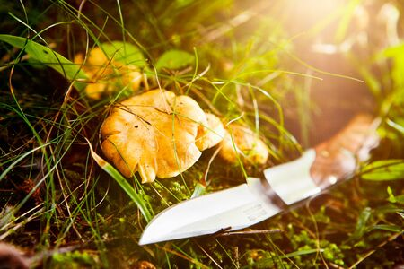 Chanterelles on the forest floor and knife beside
