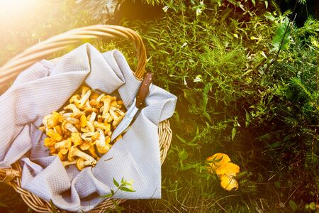 Chanterelles in basket and on the forest floor