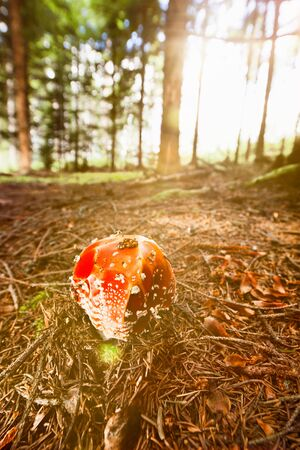 'fly agaric': Wide angle view of fly agaric in the coniferous forest