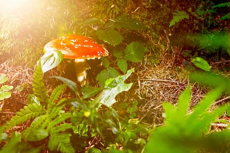 'fly agaric': Fly agaric in grassy forest floor Stock Photo