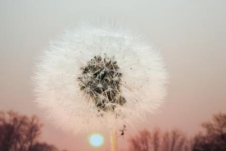 Ant in a dandelion enjoying the sunrise