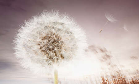 fantasize: Dandelion and flying seeds at sunrise Stock Photo