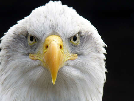talons: Bald Eagle