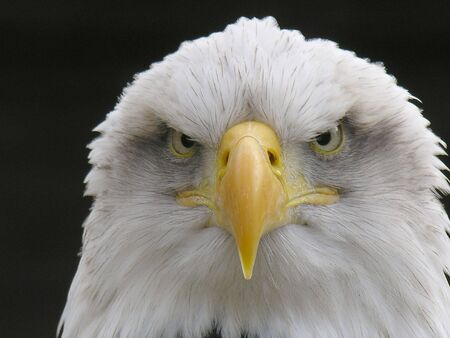 talons:  Bald Eagle Stock Photo