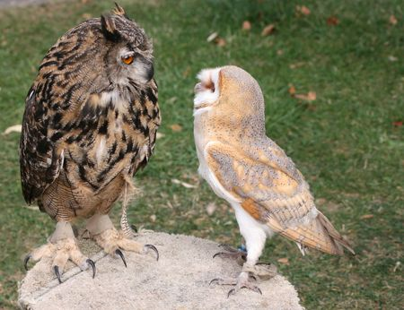 An Eagle Owl and a Barn Owl observe each other on a table photo