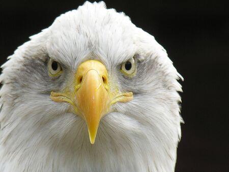 bald eagle: Cierre de disparo de un �guila calva