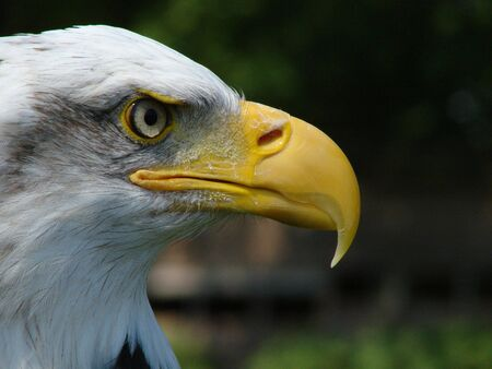 Close up shot of a Bald Eagle Stock Photo