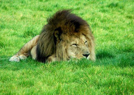 taken: Female lion resting in the grass shot taken in a Safari Park