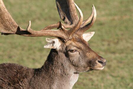 Close up photo of Fallow Deer (dama dama) Stock Photo - 2481780