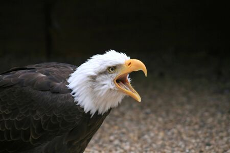 Close up shot of an American Bald Eagle photo