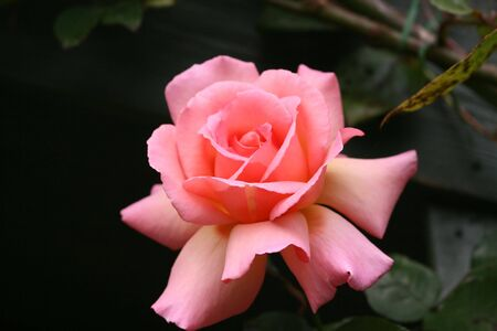 Close up shot of a Pink Rose with Room for text Stock Photo - 3620232