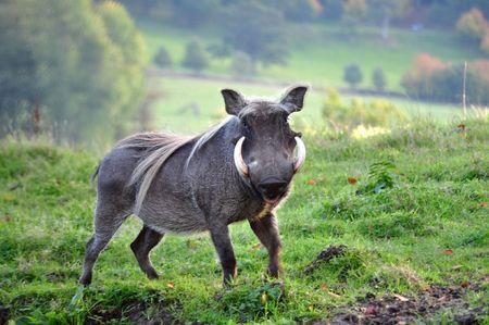 wildschwein: Close up Schuss von einem Wildschwein mit gro�en Sto??z? � hne Lizenzfreie Bilder