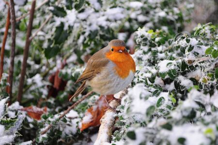 Robin The UKs favourite bird - with its bright red breast it is familar throughout the year and especially at Christmas! Males and females look identical, and young birds have no red breast and are spotted with golden brown. Robins sing nearly all year r photo