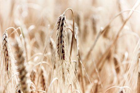 this photo shows wheat. photo