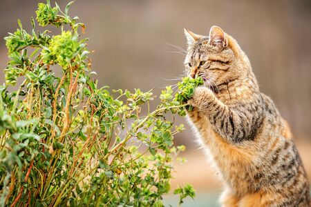 A cute brown tabby cat caught a twig with leaves in its paws. Close up. Cat games. The background in the blur.