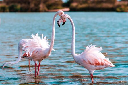 Two Greater flamingos stand in the water and hug their heads in an arc. In the background is a Blue pond. Copy of the space.