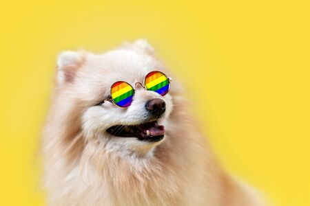 LGBT. A Pomeranian dog in glasses with a rainbow flag poses on a yellow background. The concept of homosexual relationships and transgender orientation. Copy space. Stock Photo