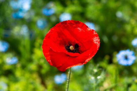 Field flowers. A red poppy flower against a background of blurred blue Nigella flowers, bright green grass. Summer time.