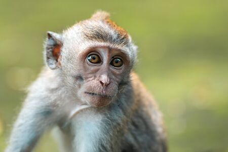 Close up portrait of a small macaque monkey sits on the mossy steps of the temple. Blurred background. Monkey forest, Bali, Indonesia.