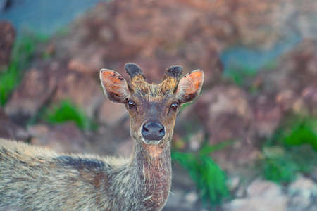 Portrait of a deer on a background of stones and grass.