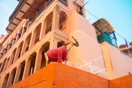 A beige goat in a sweater stands on the parapet of the building. Bottom view. India.