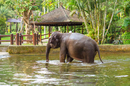 young elephant swimming in the pool on the background of gazebos and palm trees.