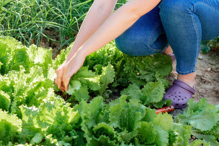 A woman harvests lettuce from the garden. Hands close-up. Sunset light. Gardening and Harvest season concept. 版權商用圖片