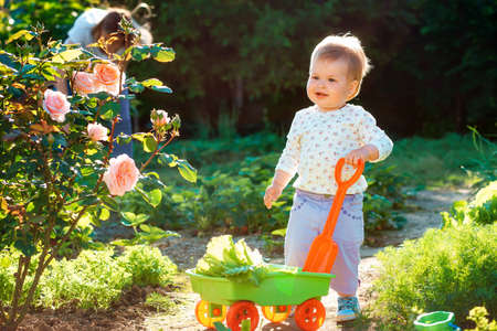 Happy toddler girl with a toy cart filled with lettuce, helps to harvest in the garden. Sunset light at summer garden. Gardening concept. 版權商用圖片