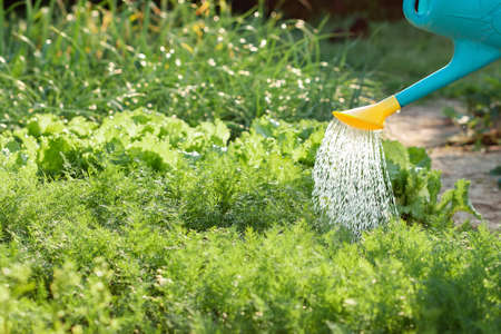 A person watering with a watering can a lettuce's bushes and herbs in a garden. Close up. Copy space. Nobody. Summer gardening concept. 版權商用圖片