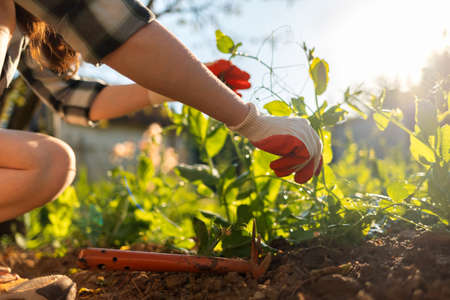 Worker's hands in gloves care sprouts of green peas. Close-up of hands and plant beds. Gardening concept. 版權商用圖片