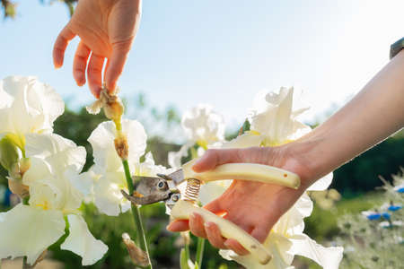 A female hands cuts off the dried flowers on the iris bushes with a pruner. Sunlight. Close up. The concept of gardening.