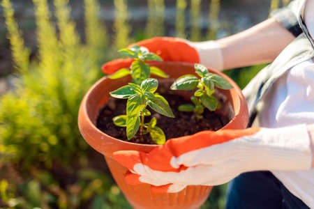 Plant. Female's gloved hands hold a pot of seedlings. Top view, close-up. The concept of planting and gardening. 版權商用圖片