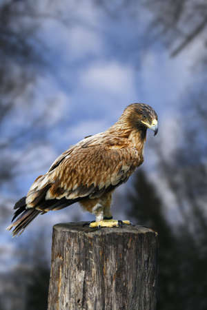 It is a yellow-beaked nestling of a bird of prey, the Caucasian mountains. photo